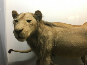 The male lion died in July of 1931 from the extreme summer heat at only 2 1/2 years old. His early death and poor physical condition explains his lack of a full mane.